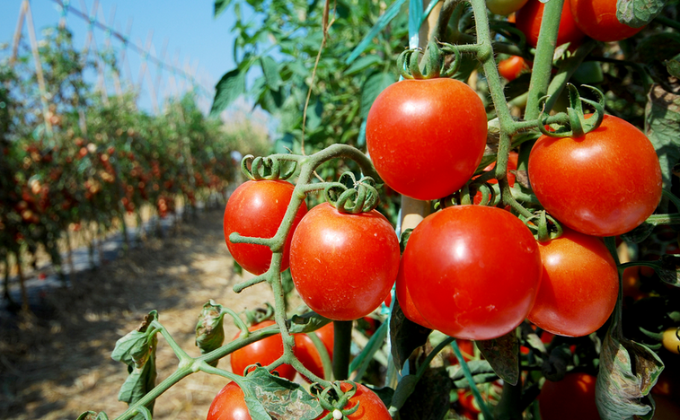 757x468_1542030466_tomatoes,_sized